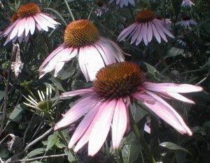 Coneflower (Perennial planting 2005)