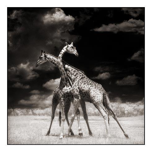 Two Giraffes Battling in the Sun~Nick Brandt