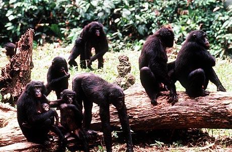sci-bonobo-ape_1