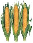 corn_on_the_cob_illustration-low_res