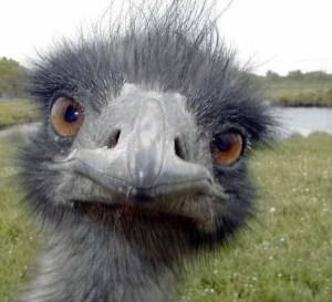 ostrichhead