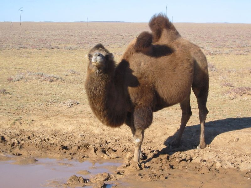 Image result for Giant African Weeping Camels
