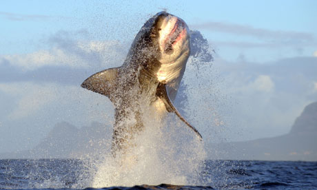Great-white-sharks-off-Se-007
