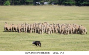 stock-photo-moving-the-sheep-ovus-aries-herd-sheep-herding-dog-takes-herd-of-sheep-away-across-pasture-46017442
